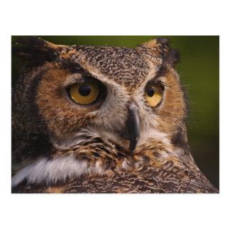 Great Horned Owl, Bubo virginianus Postcards