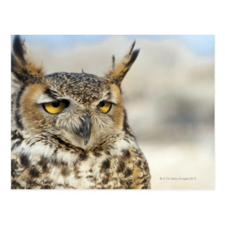 Great Horned Owl (Bubo virginianus) Postcards