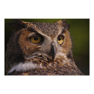 Great Horned Owl, Bubo virginianus Poster
