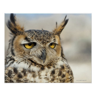 Great Horned Owl Bubo virginianus Poster