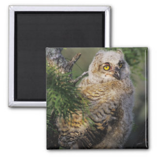 Great Horned Owl, Bubo virginianus, young in 2 Inch Square Magnet