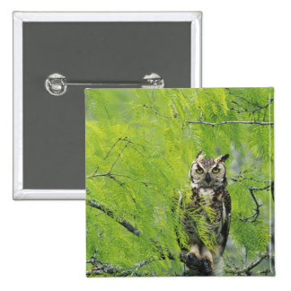 Great Horned Owl, Bubo virginianus , young in Button