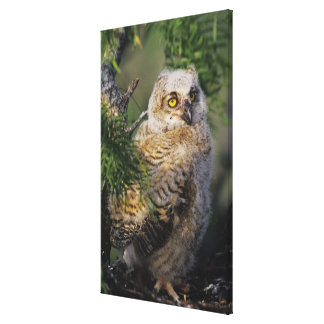 Great Horned Owl, Bubo virginianus, young in Canvas Print