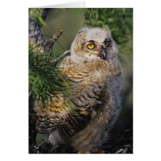 Great Horned Owl, Bubo virginianus, young in Card