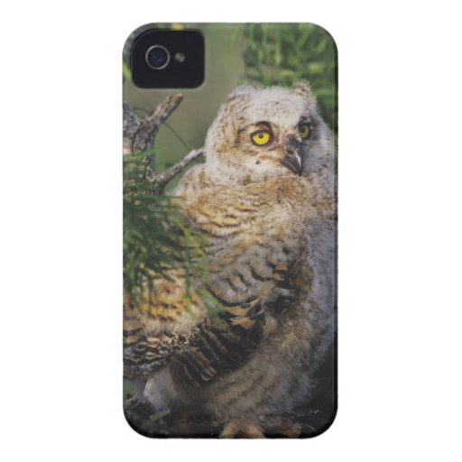Great Horned Owl, Bubo virginianus, young in Blackberry Bold Cover