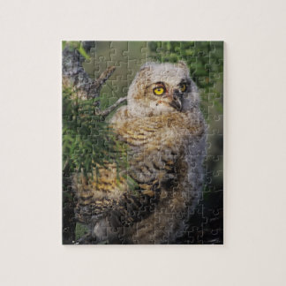 Great Horned Owl, Bubo virginianus, young in Jigsaw Puzzle