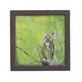 Great Horned Owl, Bubo virginianus , young in Keepsake Box