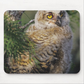 Great Horned Owl, Bubo virginianus, young in Mouse Pad
