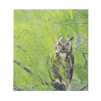 Great Horned Owl, Bubo virginianus , young in Notepad