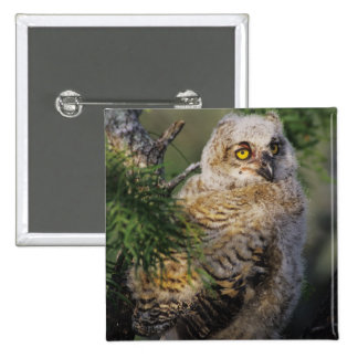 Great Horned Owl, Bubo virginianus, young in Pinback Button
