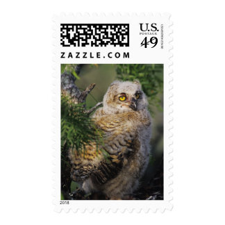 Great Horned Owl, Bubo virginianus, young in Stamps