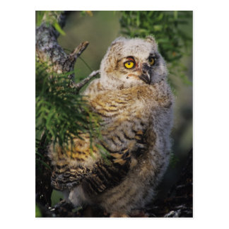 Great Horned Owl, Bubo virginianus, young in Postcard