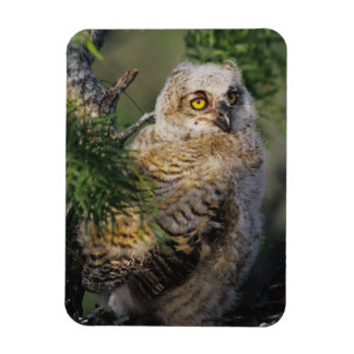 Great Horned Owl, Bubo virginianus, young in Rectangular Photo Magnet