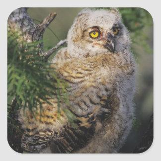 Great Horned Owl, Bubo virginianus, young in Square Sticker