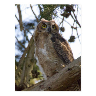 Great Horned Owl Post Card