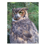 Great Horned Owl Post Cards