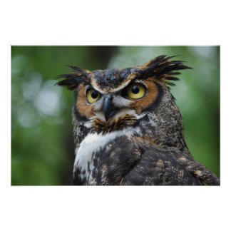 Great-Horned Owl Poster