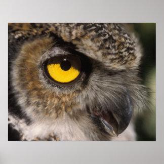 great horned owl, Stix varia, Alaska Zoo, Poster