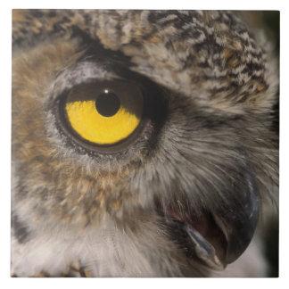 great horned owl, Stix varia, Alaska Zoo, Tile
