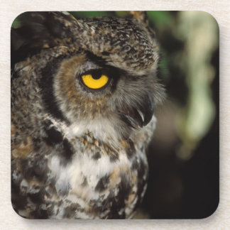 great horned owl, Stix varia, in the Anchorage Drink Coaster