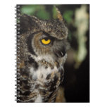 great horned owl, Stix varia, in the Anchorage Notebook