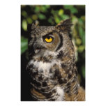 great horned owl, Stix varia, in the Anchorage Photo Print