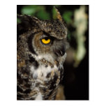 great horned owl, Stix varia, in the Anchorage Postcard