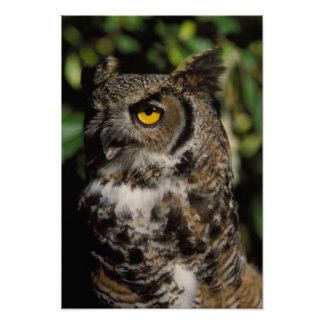 great horned owl, Stix varia, in the Anchorage Poster