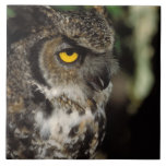 great horned owl, Stix varia, in the Anchorage Tile