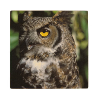 great horned owl, Stix varia, in the Anchorage Wooden Coaster