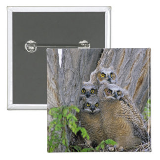 Great Horned Owlets (Bubo virginianus) nest in a 2 Inch Square Button