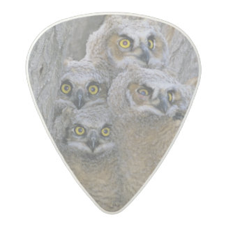 Great Horned Owlets (Bubo virginianus) nest in a Acetal Guitar Pick