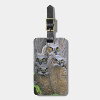 Great Horned Owlets (Bubo virginianus) nest in a Bag Tag