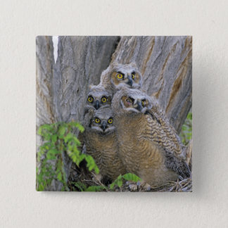 Great Horned Owlets (Bubo virginianus) nest in a Button