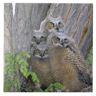 Great Horned Owlets (Bubo virginianus) nest in a Ceramic Tile