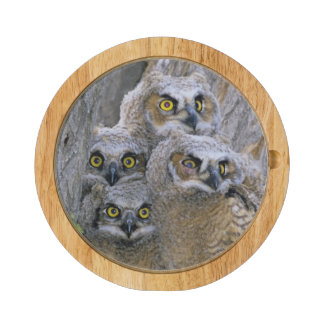 Great Horned Owlets (Bubo virginianus) nest in a Cheese Platter