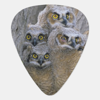 Great Horned Owlets (Bubo virginianus) nest in a Guitar Pick