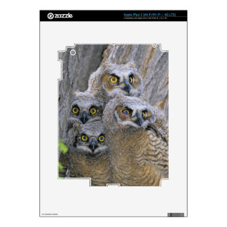 Great Horned Owlets (Bubo virginianus) nest in a iPad 3 Skins
