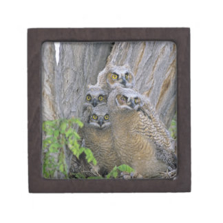 Great Horned Owlets (Bubo virginianus) nest in a Jewelry Box