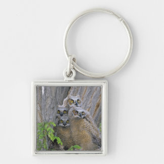 Great Horned Owlets (Bubo virginianus) nest in a Keychain