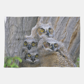 Great Horned Owlets (Bubo virginianus) nest in a Kitchen Towel