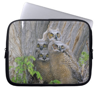 Great Horned Owlets (Bubo virginianus) nest in a Laptop Sleeve