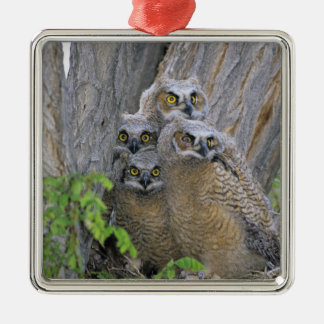 Great Horned Owlets (Bubo virginianus) nest in a Metal Ornament