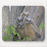 Great Horned Owlets (Bubo virginianus) nest in a Mouse Pad