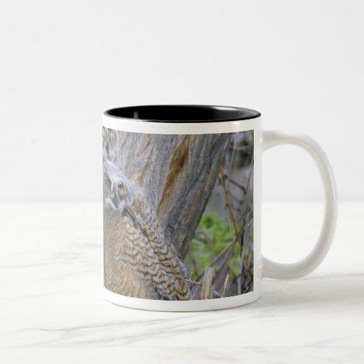 Great Horned Owlets (Bubo virginianus) nest in a Coffee Mug