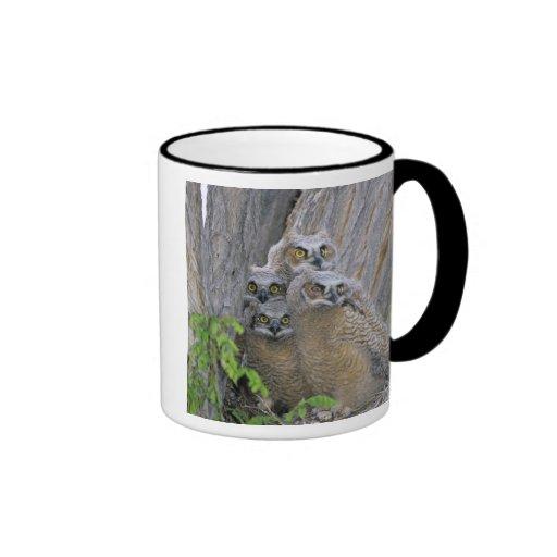 Great Horned Owlets (Bubo virginianus) nest in a Mugs