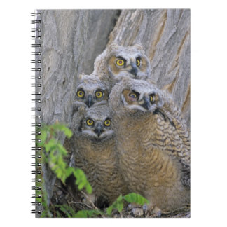 Great Horned Owlets (Bubo virginianus) nest in a Notebook