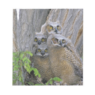 Great Horned Owlets (Bubo virginianus) nest in a Notepad