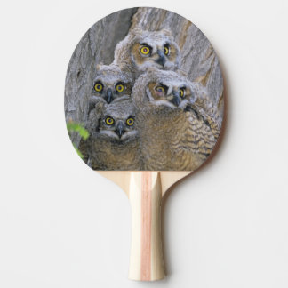 Great Horned Owlets (Bubo virginianus) nest in a Ping-Pong Paddle