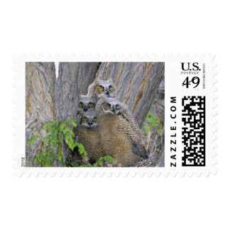 Great Horned Owlets (Bubo virginianus) nest in a Postage